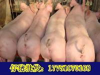 目前仔猪多少钱一斤现在猪仔多少钱一斤