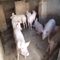肉猪市场肉猪