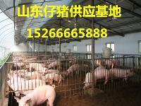 三元猪养殖批发三元猪