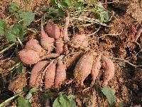 山东红薯价格