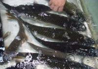 渔场直供鲫鱼,草鱼,鲤鱼,花白鲢,鲈鱼,观赏鱼等