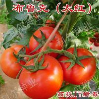 大红果番茄种子 布鲁克--大红西红柿种子