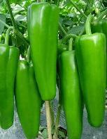 科达--牛角椒辣椒种子