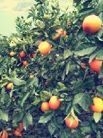 湖北宜昌中华红,二月红橙产地批发