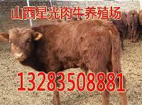 大同供应放牧肉牛犊子