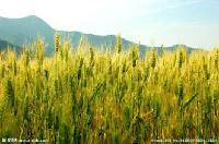 无公害优质基地直供冬小麦