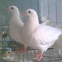 肉鸽价格优惠