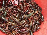 微山湖龙虾