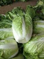 批发白菜哪里有卖/山东白菜供应价格