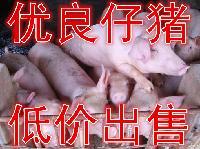 仔猪生猪 包成活率  送猪到家