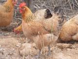 湘黄土鸡母苗