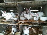 肉兔多少钱 要如何正确养殖