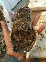 湛江生蚝批发价格多少钱一斤 规格大中小