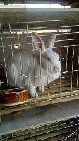 比利时兔子养殖全心全意让您致富兔子养殖