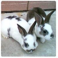 兔子一年抱几窝东营养兔投资少利润大好项目
