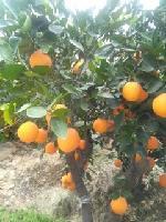 大量销售伦晚橙,产地直供