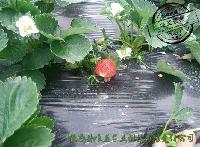 草莓 新鲜草莓 甜查理 红岩 M13