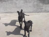中华黑狼犬价格