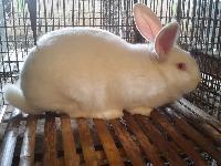 肉兔种兔养殖/肉兔养殖