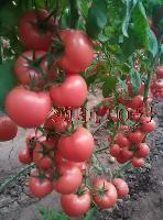 抗TY病毒*10号番茄种子