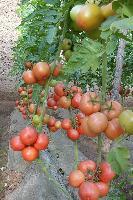 *9号番茄种子