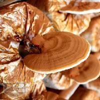 批发供应活体灵芝盆栽 观赏鲜灵芝菌包
