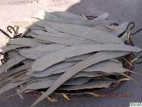 桉叶提取物 纯天然水溶浓缩粉 厂家生产包邮