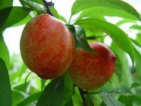 优质油桃价格   油桃批发及行情