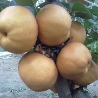 爱宕梨树苗价格
