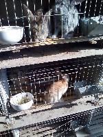 肉兔种兔批发   肉兔养殖加盟