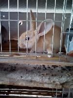 肉兔养殖前景   新西兰幼兔价格