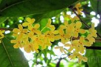 蜜蜂花浸膏