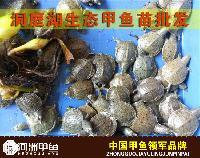 【河洲甲鱼】嘉兴中华鳖苗养殖|野生甲鱼价格