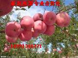 洛川苹果冷库红富士苹果,陕西红富士价格批发