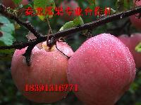 陕西优质红富士苹果