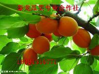 *上市早熟金太阳杏子价格金太阳杏子价格