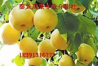 *上市早酥梨价格梨子基地行情梨子走势价格
