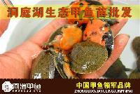 【河洲甲鱼】湖北野生中华鳖批发|野生甲鱼养殖
