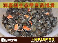 【河洲甲鱼】河源野生甲鱼养殖|中华鳖批发