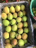 陕西红香酥梨产地*批发价格
