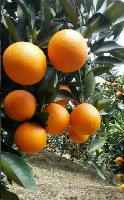 湖北脐橙代办电话/湖北秭归脐橙代办电话/伦晚脐橙