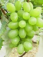 陕西青提葡萄价格基地,种植青提葡萄价格