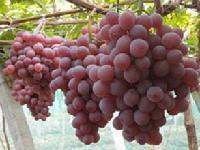 陕西大荔早熟红提葡萄,户太葡萄基地产地瓜果商行