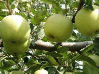 云南昭通苹果青苹果青香蕉青金帅