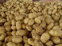 山东省土豆供应基地  荷兰土豆