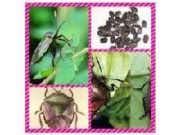 九香虫提取物 厂家直销 品质保证