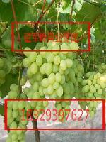 陕西青提葡萄哪有大荔万亩双模维多利亚葡萄暴雪价格