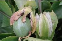 青牛胆提取物   青牛胆  食品保健品添加剂