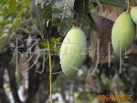 1688云南晚熟芒果水果(马切苏)松香味6月