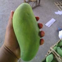 专业生产绿色食品 吕宋芒果 大吕宋6-7月 华